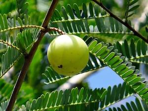 Indian Gooseberry Benefits & Uses   NatureClaim